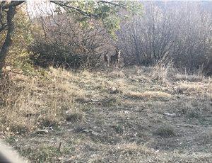 Ο ΑΡΚΤΟΥΡΟΣ έσωσε δύο ακόμη λύκους από την αιχμαλωσία στην Σερβία thumb