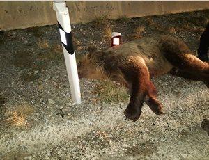 Πέμπτο θανατηφόρο τροχαίο ατύχημα με αρκούδα το 2017 thumb