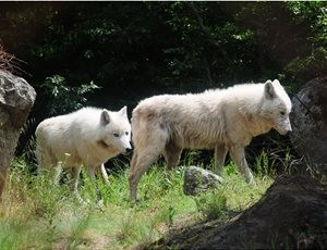 Μία αγέλη έξι λύκων από την Ιταλία στο Καταφύγιο του ΑΡΚΤΟΥΡΟΥ thumb