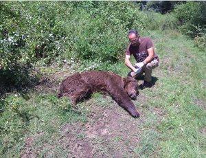 Ηλικιωμένη αρκούδα πέθανε στην Πολυκάρπη Καστοριάς από φυσικά αίτια thumb