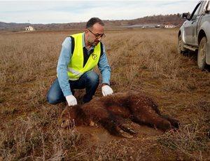 Νεκρό αρκουδάκι το πρώτο θύμα του 2018 thumb