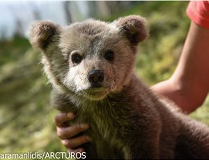 ARCTUROS will take care of Luigi, an orphan bear cub thumb