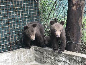 Ο ΑΡΚΤΟΥΡΟΣ φροντίζει και θα επανεντάξει στη Βουλγαρία τρία ορφανά αρκουδάκια thumb