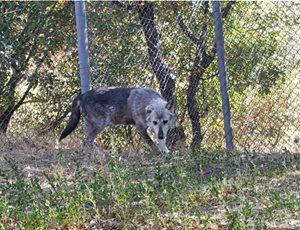 Δύο πρώην αιχμάλωτοι λύκοι ήρθαν στον ΑΡΚΤΟΥΡΟ thumb