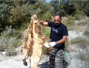 Η Ομάδα Άμεσης Επέμβασης του ΑΡΚΤΟΥΡΟΥ βρήκε κατεργασμένο δέρμα αρκούδας thumb