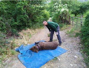Ο ΑΡΚΤΟΥΡΟΣ έσωσε τον Ερμή από παράνομη παγίδα για αρκούδες thumb