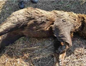 Bear discovered dead in Florina, believed poisoned thumb