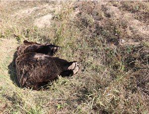 Νεκρή αρκούδα από πυροβολισμό στην Πρέσπα thumb