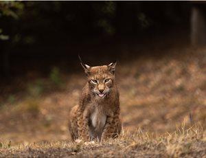 Λύγκας: Ο άγνωστος «τίγρης» της Ευρώπης στο Κέντρο Προστασίας του ΑΡΚΤΟΥΡΟΥ thumb