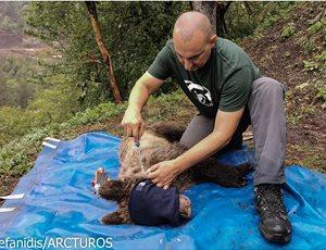 Κοινό Δελτίο Τύπου: Απεγκλωβισμός παγιδευμένης αρκούδας στο Δίστρατο Κόνιτσας thumb