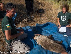 Αρκουδάκι 10 μηνών απεγκλωβίστηκε από παράνομη παγίδα σε αμπελώνα thumb