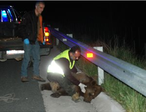 Bear killed in road accident – Requirement for additional measures on the road KA45 axis thumb
