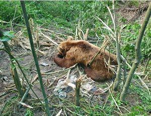 Ο ΑΡΚΤΟΥΡΟΣ έσωσε αρκούδα από παράνομη παγίδα για αγριογούρουνα thumb