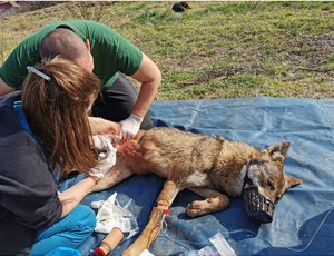 Διάσωση λύκαινας που είχε κρεμαστεί σε καγκελόπορτα thumb
